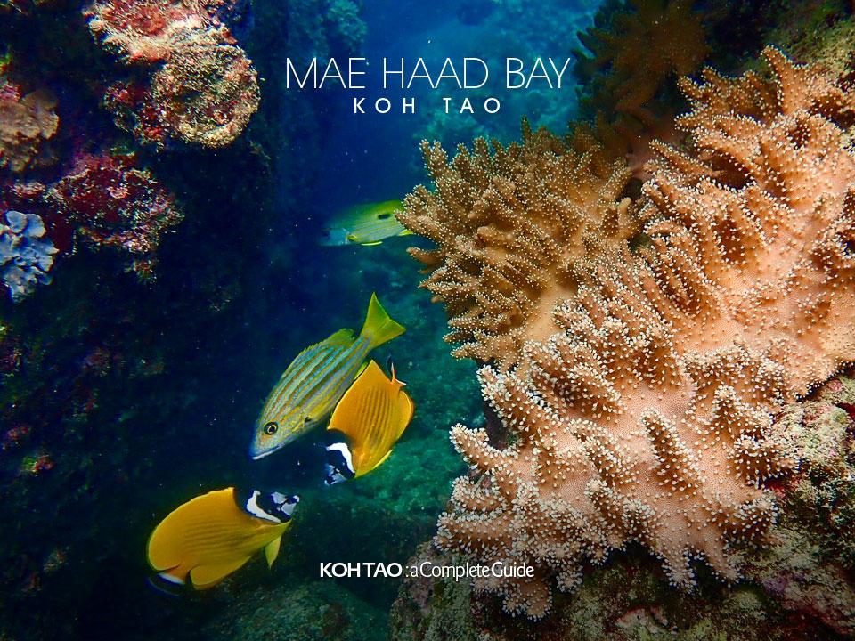 Leather coral – Mae Haad Bay, Koh Tao
