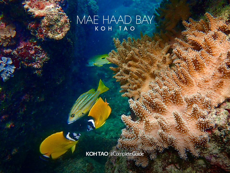 Leather coral – Mae Haad Bay, Koh Tao