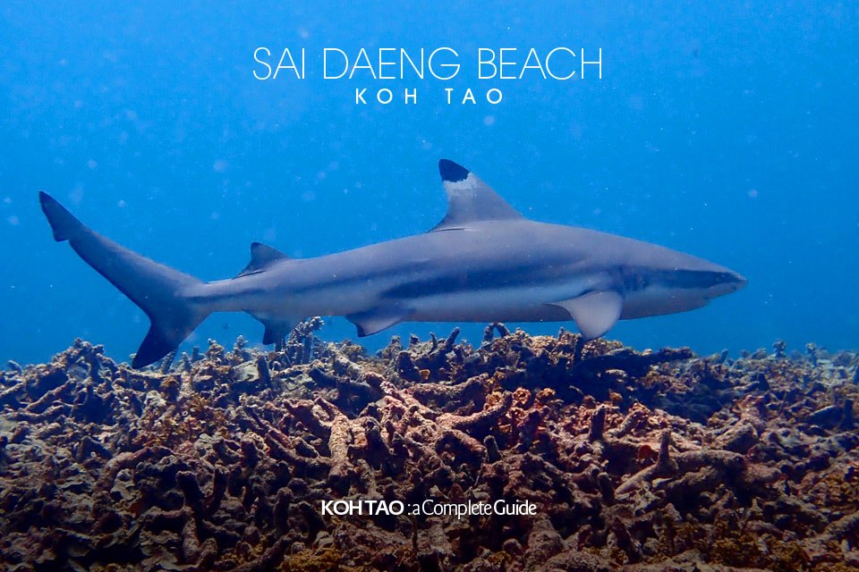 Blacktip reef shark – Sai Daeng Beach, Koh Tao