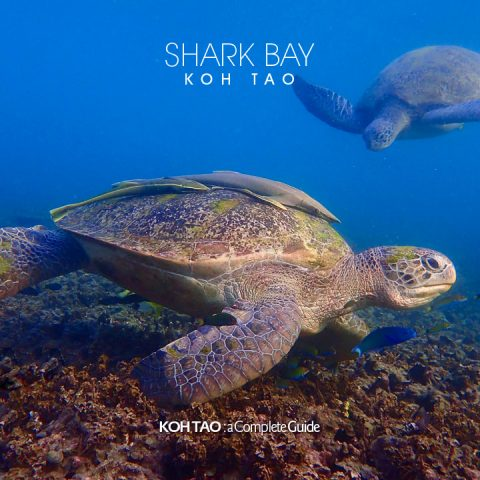 Green turtles – Shark Bay, Koh Tao