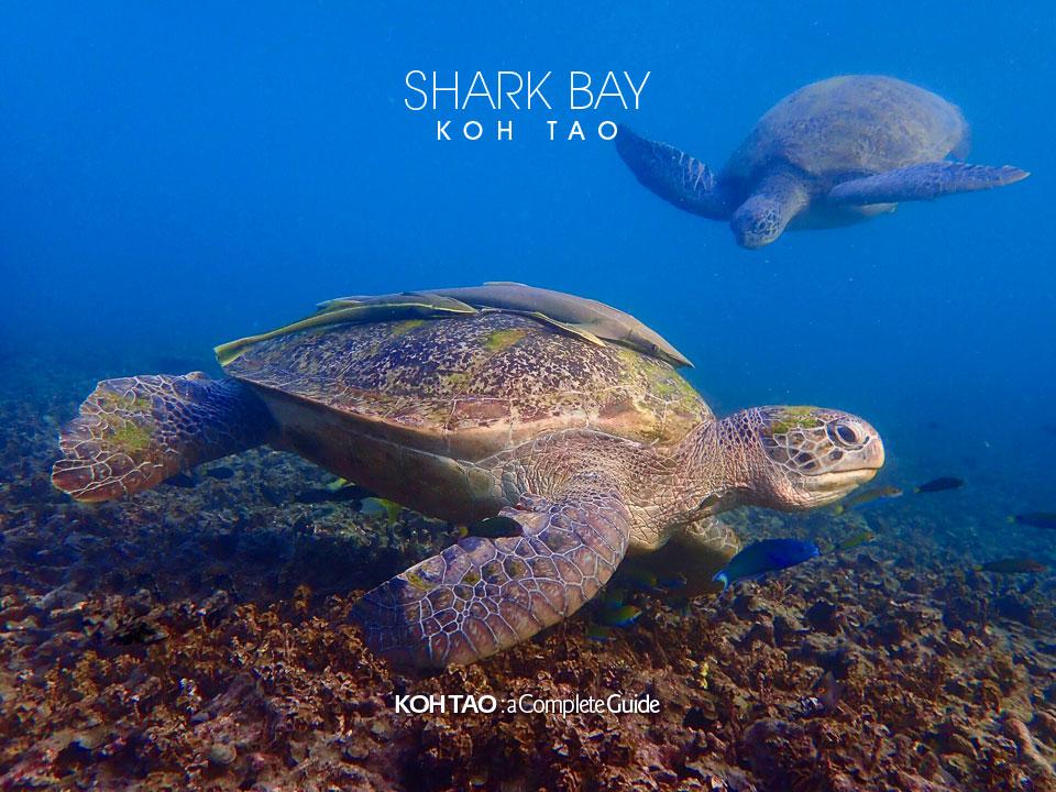 Green turtles – Shark Bay, Koh Tao