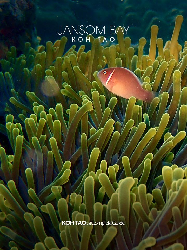 Anemone fish – Jansom Bay, Koh Tao