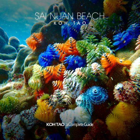 Christmas tree worms – Sai Nuan Beach, Koh Tao