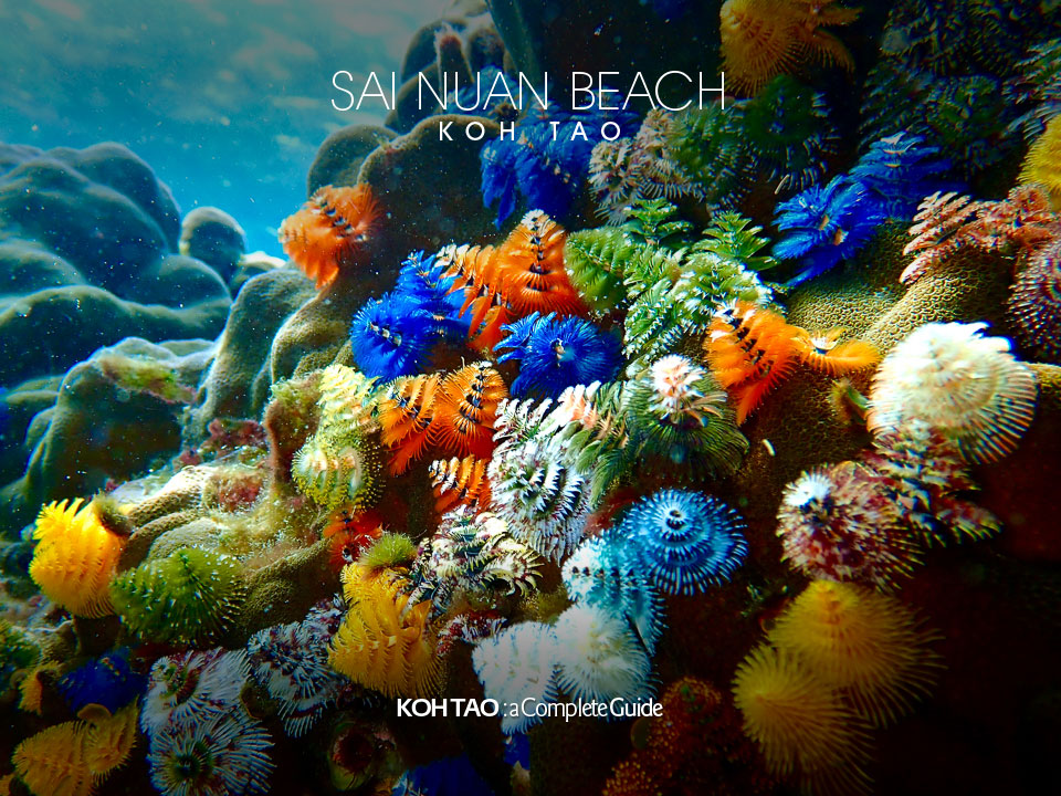 Christmas tree worms – Sai Nuan Beach, Koh Tao