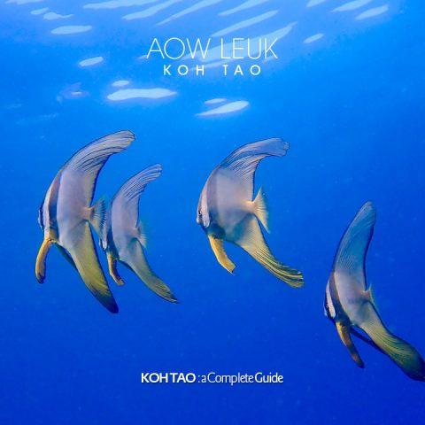 Long tail batfish - Aow Leuk Bay, Koh Tao