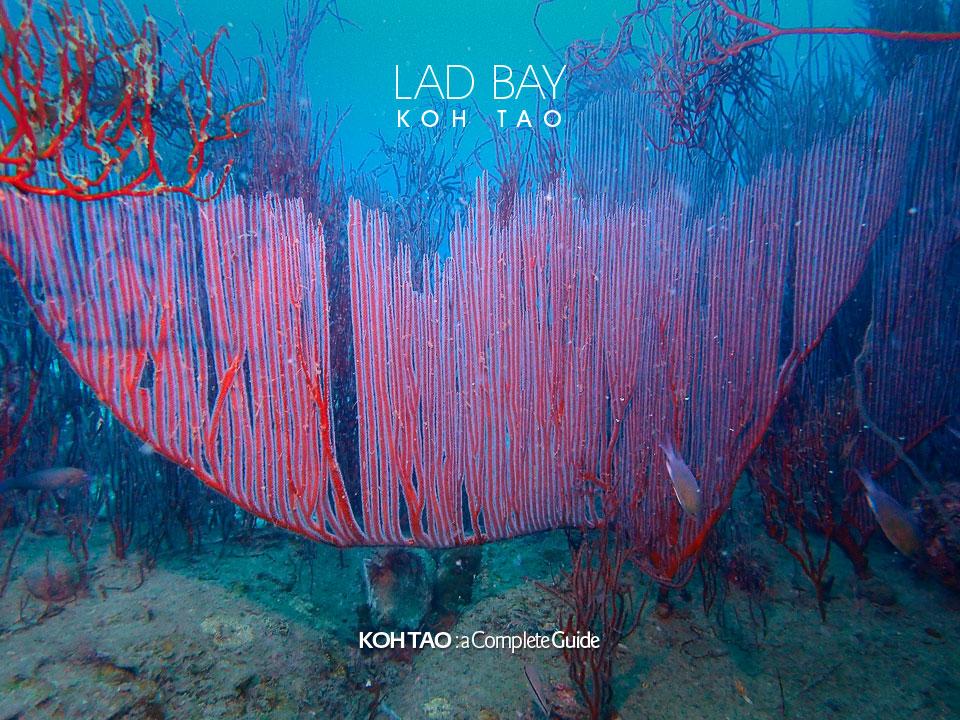 Harp coral – Lad Bay, Koh Tao