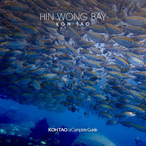 Big school of Yellow-tail scad, Hin Wong Bay, Koh Tao