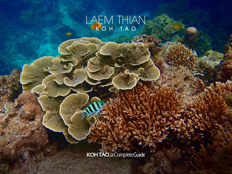 Hard coral – Laem Thian, Koh Tao