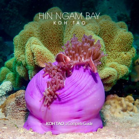 Anemone fish – Hin Ngam Bay, Koh Tao