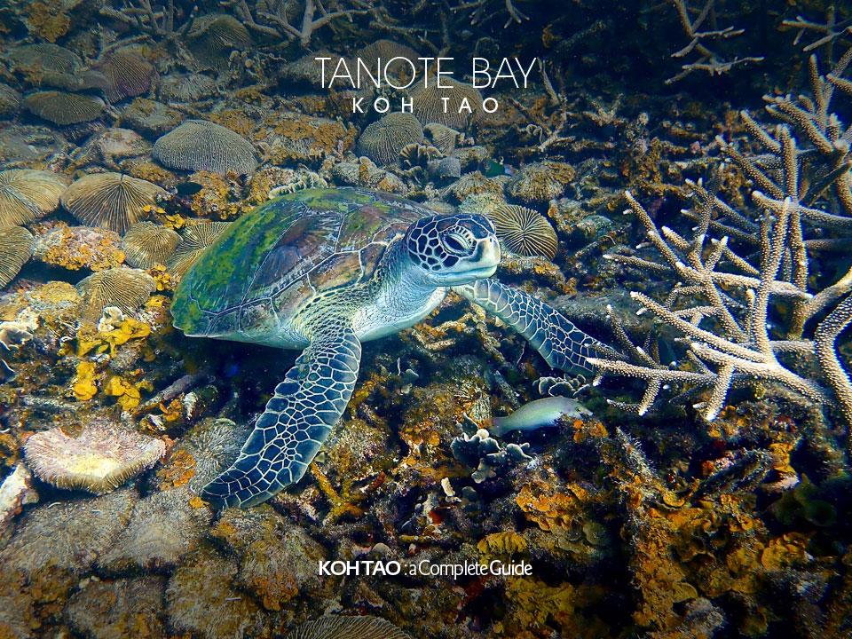 Hawksbill turtle – Tanote Bay, Koh Tao