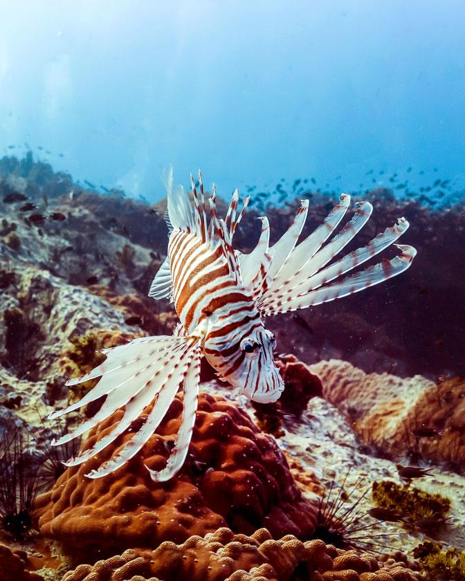 Lion Fish, New Heaven Dive School, Koh Tao