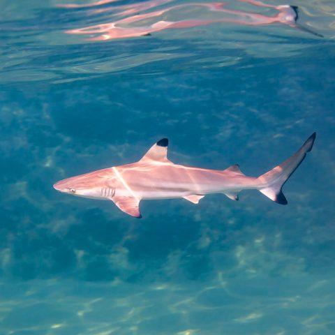 Black Tip Reef Shark, New Heaven Dive School, Koh Tao