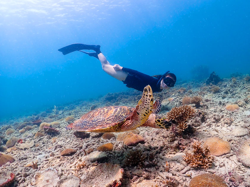 Freediving with Hawksbill turtle at  Sai Nuan Beach, Koh Tao