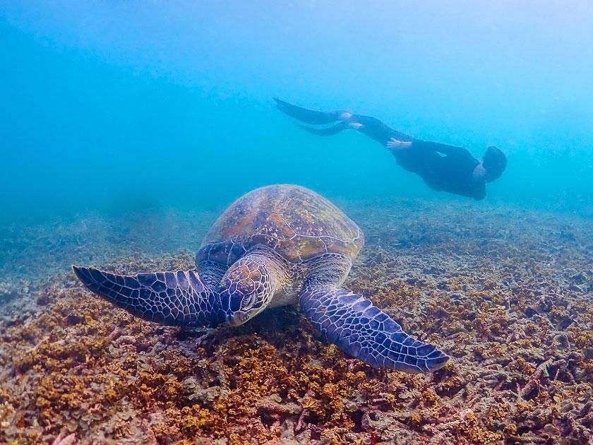 ฟรีไดฟ์กับเต่าทะเลที่เกาะเต่า